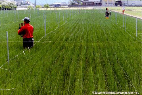 熊本い草の網張り作業