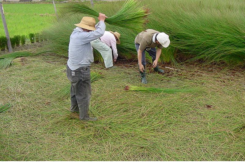 国産い草収穫