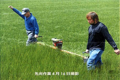 い草の先刈り作業