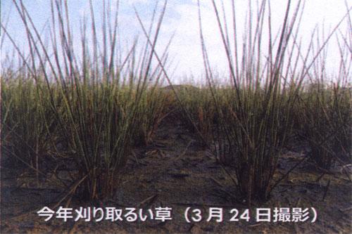 今年刈る本田のい草の成長