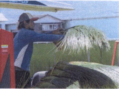 い草の刈り取り