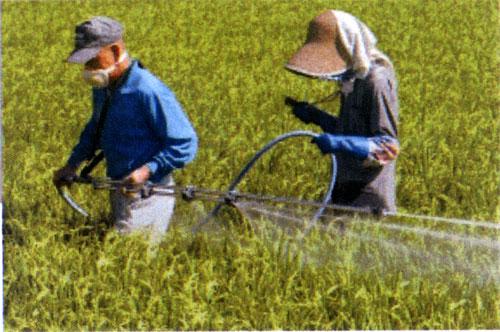 収穫前の稲の駆除作業