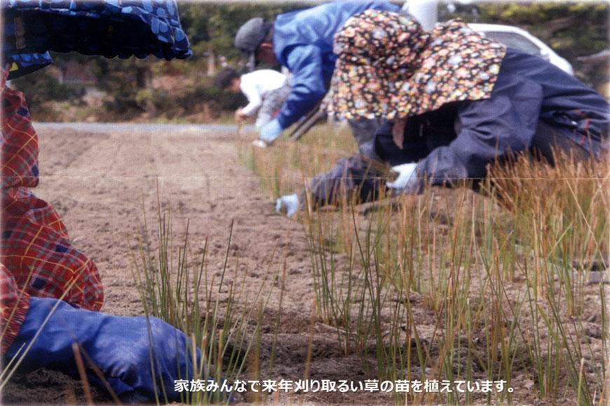 1次苗を苗畑へ植え付ける