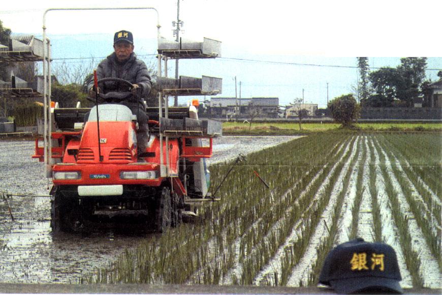 機械によるい草の植え付け