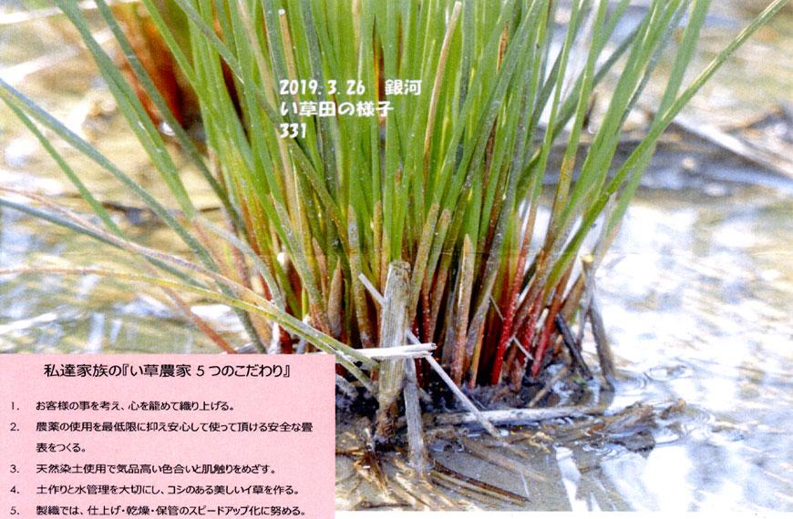 3月26日根を張る国産い草